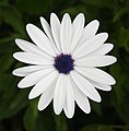 African Cape Daisy (Osteospermum barberiae).jpg