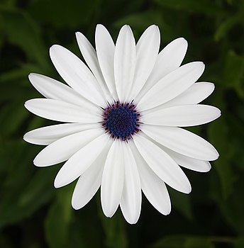 White Cape Daisy