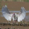 African Spoonbill, Platalea alba, at Marievale Nature Reserve, Gauteng, South Africa (45225955821).jpg