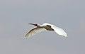 African Spoonbill, Platalea alba at Marievale Nature Reserve, Gauteng, South Africa (21608319881).jpg