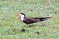 African skimmer in Chobe National Park 02.jpg