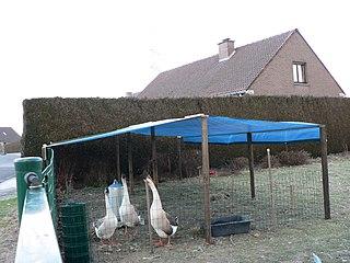 Gäss hålls avskilda från övriga djur för att förhindra spridning av fågelinfluensan.