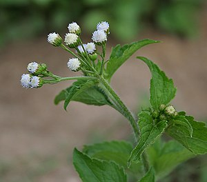 Ageratum conyzoides - Image: Ageratum conizoides in Narshapur forest, AP W IMG 1100
