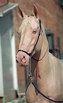 Cremello Akhal-Teke horse with blue eyes, rosy-pink skin, and a cream-colored coat.