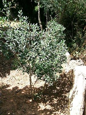 Rhamnus alaternus - Image: Aladern Rhamnus alaternus