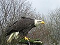 Alaska the Bald Eagle at Eagle Heights - geograph.org.uk - 360183.jpg