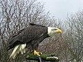 Alaska the Bald Eagle at Eagle Heights - geograph.org.uk - 360183.jpg