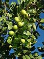Alb-Z. jujuba-fruit-5.jpg