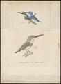 Alcedo beryllina - 1700-1880 - Print - Iconographia Zoologica - Special Collections University of Amsterdam - UBA01 IZ16800207.tif