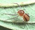 Alcimochthes.limbatus.female.-.tanikawa.jpg