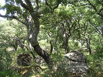 Los Alcornocales Natural Park - Cork oaks