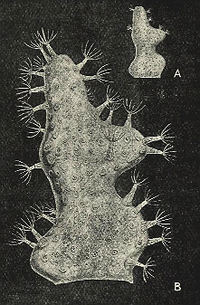 Alcyonidium gelatinosum 0001.png