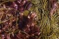 Algae for phycogenics.png
