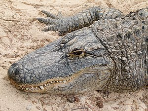 Alligator - Head