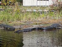Alligators au refuge national d'Okefenokee.JPG