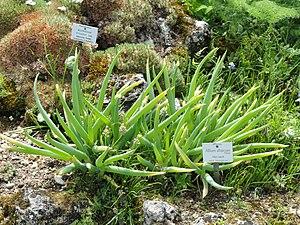 Allium altaicum - Image: Allium altaicum Botanischer Garten München Nymphenburg DSC07643