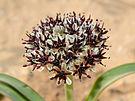 Allium rothii 1.jpg