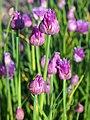 Allium schoenoprasum Szczypiorek 2019-05-17 03.jpg