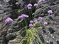 Allium schoenoprasum var. foliosum 2.JPG