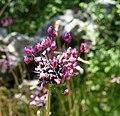 Allium scorodoprasum inflorescence (14).jpg