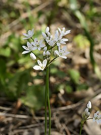 Allium subhirsutum (flowers)