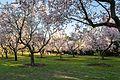 Almendros en flor en La Quinta de Los Molinos (Madrid) (13091339914).jpg