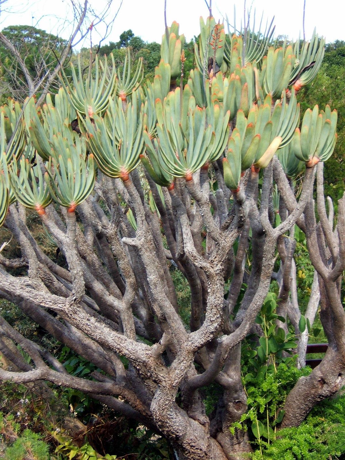Aloe arborescens  Wikipedija prosta enciklopedija
