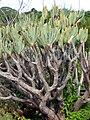 Aloe plicatilis 2006 06 09.jpg