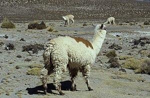 Huacaya alpaca - A Huacaya alpaca near Arequipa in Peru