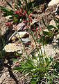 Alpine sheep sorrel Rumex paucifolius ssp gracilescens.jpg