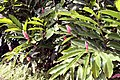 Alpinia purpurata 13zz.jpg