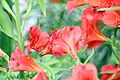 Alstroemeria Sancho Red 2zz.jpg