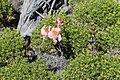 Alstroemeria pallida 6443 (29583684486).jpg