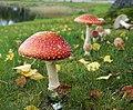 Amanita muscaria 4.jpg