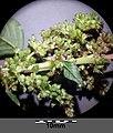 Amaranthus viridis sl29.jpg