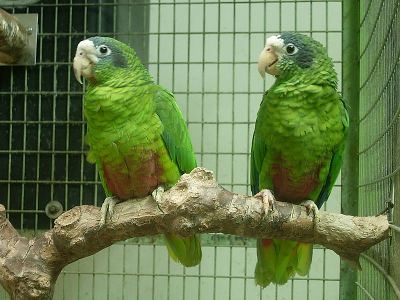 File:Amazona ventralis -two captive-8a.jpg