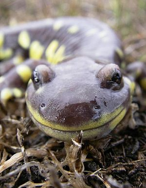 California tiger salamander - In San Benito County, California