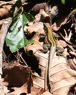 Description de l'image Ameiva quadrilineata, Costa Rica.JPG.