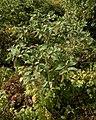 American Pokeweed (Phytolacca americana) - Kitchener, Ontario 06.jpg