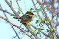 American Pygmy Kingfisher (Chloroceryle aenea) (7222794996).jpg