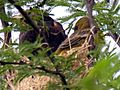 American Redstart Youngs on Edge of Nest 8 Jun 05b (18426512).jpg