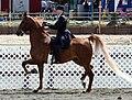 American Saddlebred9.jpg