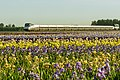 Amtrak in the irises (27041662662).jpg