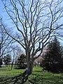 Amur Cork Tree at Numanohata Memorial Park.jpg