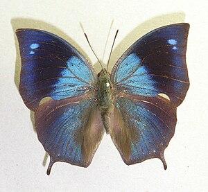 Memphis (genus) - Memphis moruus