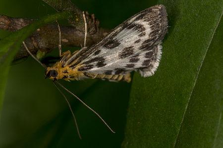 Anania hortulata, Lodz(Poland)(js)4.jpg