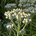Anaphalis margaritacea-IMG 8638.jpg