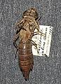 Anax parthenope julius larva.jpg
