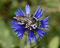 Andrena fuscocalcarata female 1.jpg