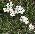 Androsace villosa RF.jpg